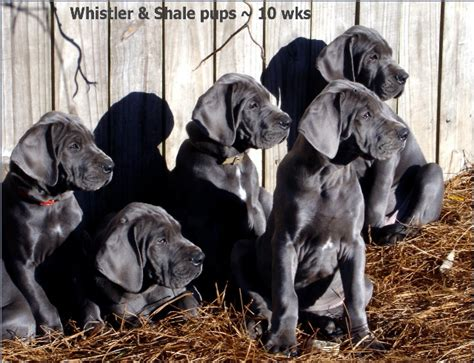 puppy feed program hoc pano ocd great dane puppy foods