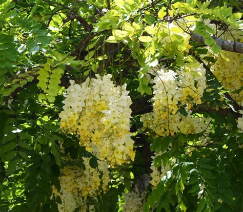 Rainbow Shower Tree - Cassia x nealiae