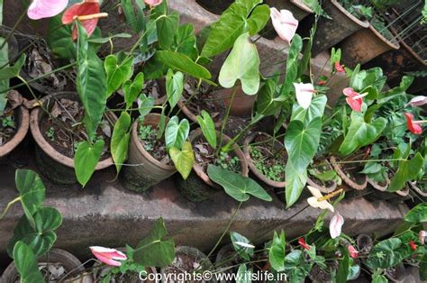 how to grow anthurium gardening hobby anthurium