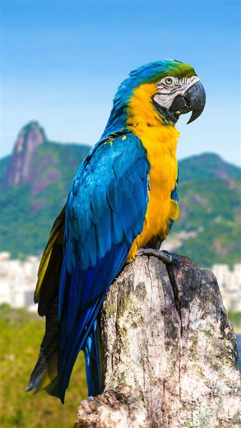 blue  yellow macaw parrot  rio de janeiro brazil