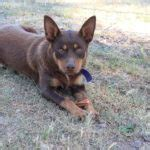 herding breed characteristics north bay canine rescue