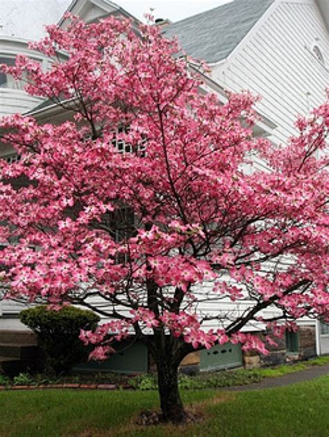types of pink flowering trees pink dogwood
