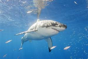 Great White Sharks Spotted Off California Coast | National ...