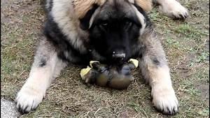 Russian Caucasian Mountain Dog Attack | www.pixshark.com ...