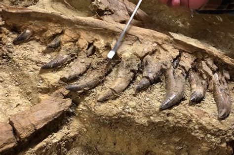 Unearthed Dinosaur Fossil Could Be A Baby T-rex