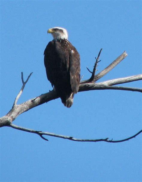 bald eagle breeding season leads to restrictions c