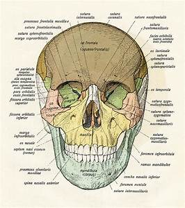 Diagram Of Human Skull Digital Art By Graphicaartis