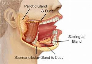 Stensen U2019s Duct  Also Known As The Parotid Duct  Is The