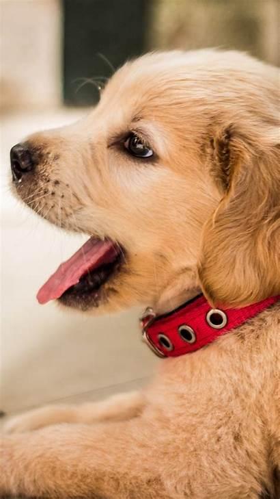 Retriever Golden Puppy Iphone Rest Wallpapers 4k