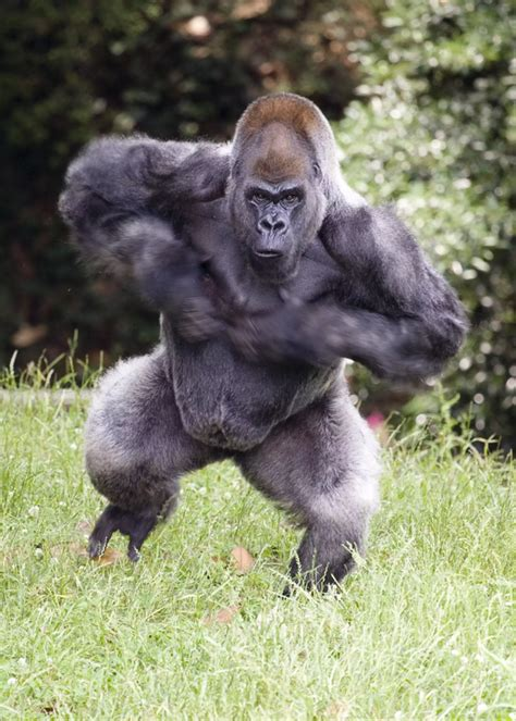 How strong is the punch of a gorilla? - Quora