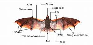 Diagram Of Bat Anatomy With Labeled Parts