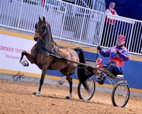 hackney pony horses horse ponies canadian champion harness breeds plant roadster society stepping were amateur royal gaited wandered fine farms