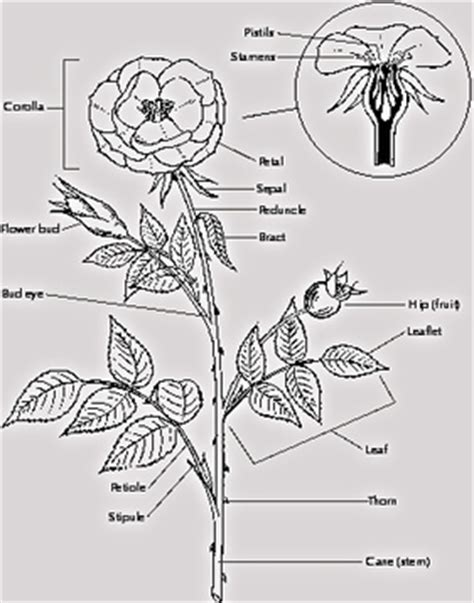 General Special Adaptations All About Roses