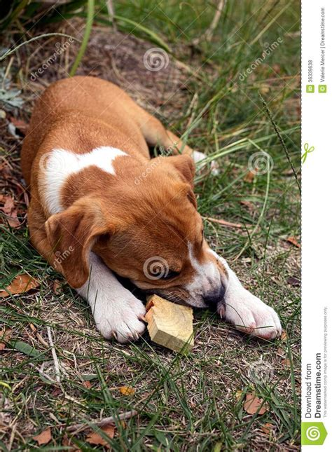 puppy chewing a stick royalty free stock photos image