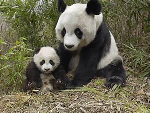 COOL IMAGES: Cute Panda Pics