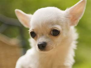 Chihuahua breed Dogs | Fun Animals Wiki, Videos, Pictures ...