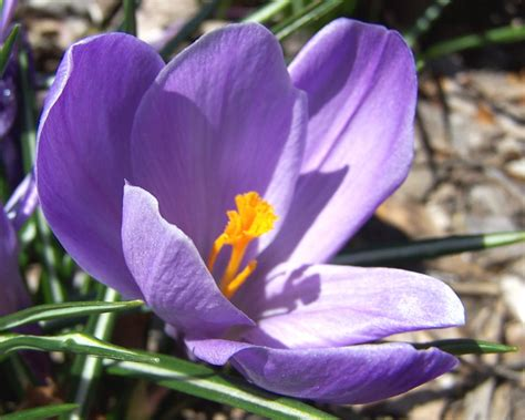 crocuses how to plant grow and care for crocus flowers