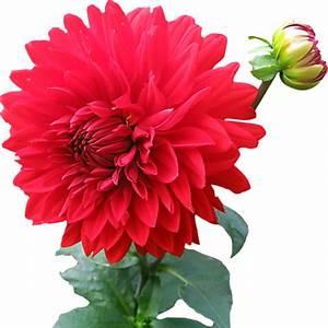Dahlia Flower PNG image - PngPix