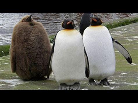 lustige tiere penguine sind witzig videosammlung