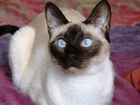 types of siamese cats the siamese cat breed