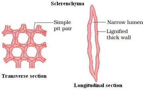 permanent tissue characteristics types  functions