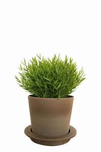 Bambus Pflege Zimmerpflanze : zimmerbambus pogonatherum paniceum pflege ~ Michelbontemps.com Haus und Dekorationen