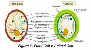 Animal Cell Which Does Not Possess A Nucleus