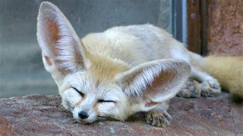 fennec foxes    ears  big