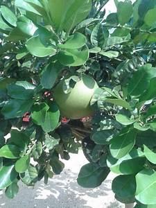 Zitruspflanzen Gelbe Blätter : zitronenlust onlineshop f r mediterrane pflanzen und b ume pomelo citrus maxima ~ Orissabook.com Haus und Dekorationen