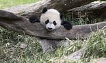 Giant panda | Smithsonian's National Zoo
