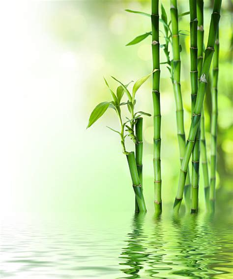 bamboo water stalks age wall defying clarifying essence sake mural border similar lucky pixers istockphoto istock