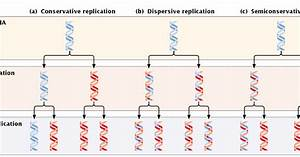 dna replication conservative semi conservative and With explain how dna serves as its own template during replication