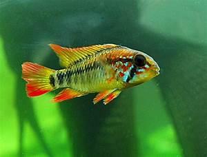 Süßwasserfische Fürs Aquarium : die besten 25 s damerikanische cichlids ideen auf ~ Lizthompson.info Haus und Dekorationen
