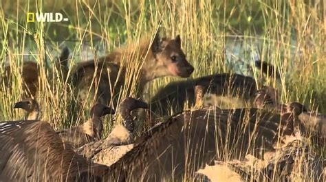 animal planet discovery channel hyena documentary