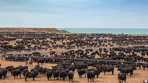 star beef feedlot tests arriving cattle
