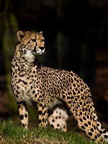 northeast african cheetah wikipedia