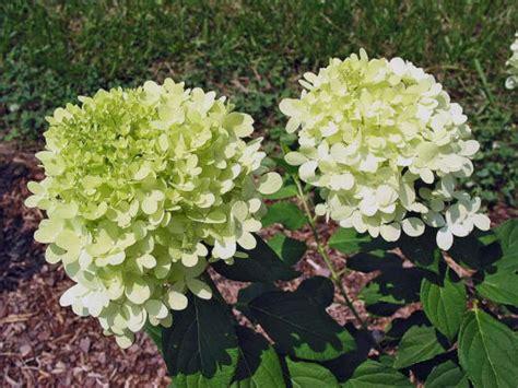 plant   month hydrangea houston chronicle