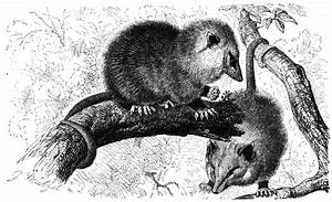 Fileopossum Drawing Wikimedia Commons