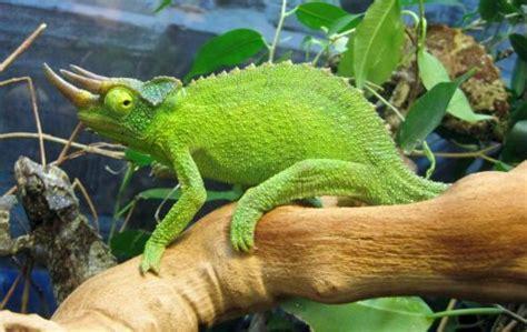 husbandry of montane species of chameleons