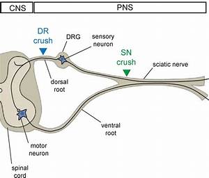 7  Schematic Representation Of The Sensory