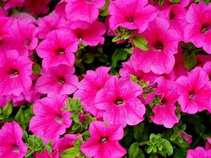 Balcony Flowers Petunia Surfinia Hot Pink Color Plant Leaf