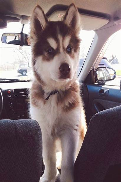 Husky Puppies Siberian Cool Looking Dogs Puppy