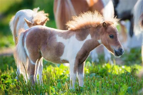 horse mini miniature horses fodors pets know need source