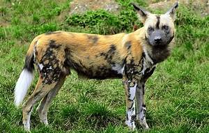 African wild dog facts: what makes them such fascinating ...