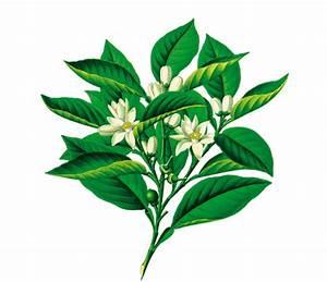 leau de fleur doranger rebelle sante With chambre bébé design avec parfum fleur d oranger