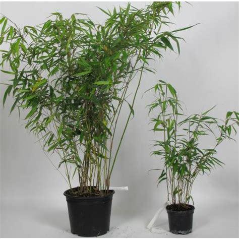 fargesia rufa en pot bamboo fargesia robusta pingwu buy bamboo fargesia robusta pingwu fargesia robusta pingwu