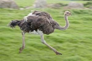 Autruche. Struthio camelus. En Images. Dinosoria