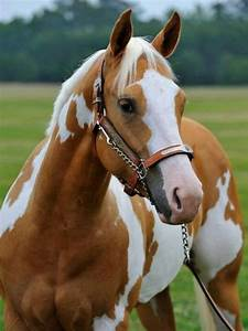 Beautiful palomino paint horse. I want to own a ranch and ...