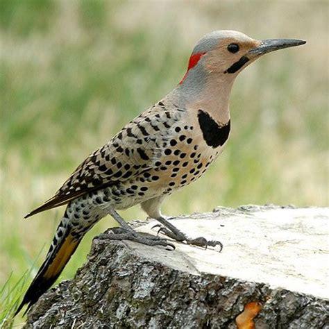 flicker birds pinterest