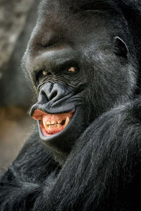 grrr sexy gorilla smoulders   camera  latest